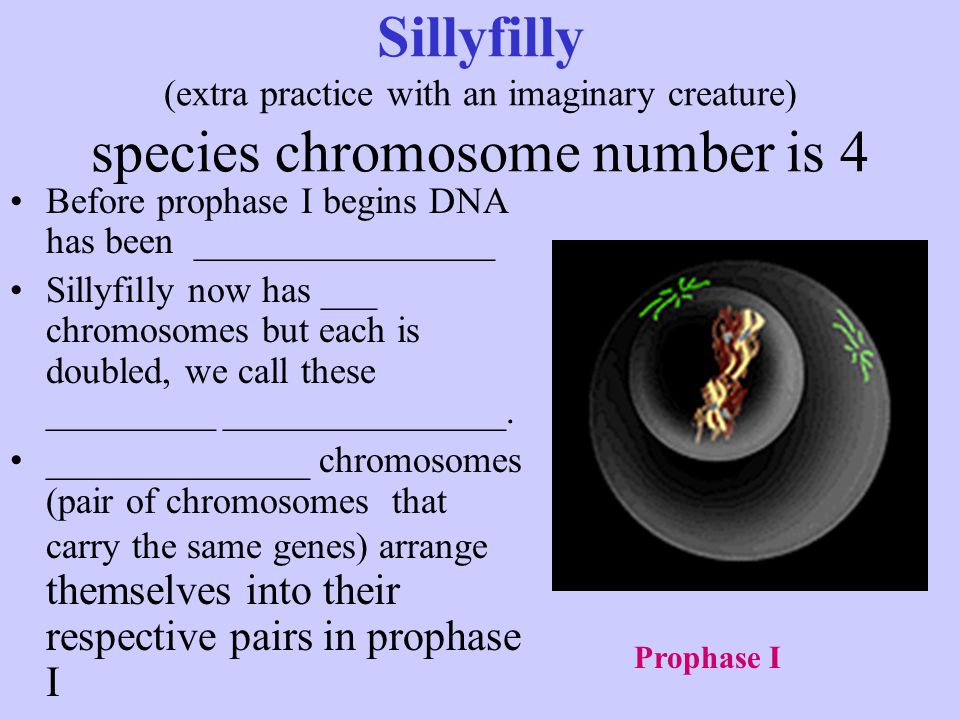Sillyfilly (extra practice with an imaginary creature) species chromosome number is 4