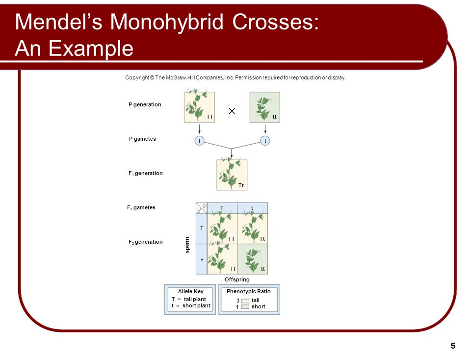 Mendel's Monohybrid Crosses: An Example