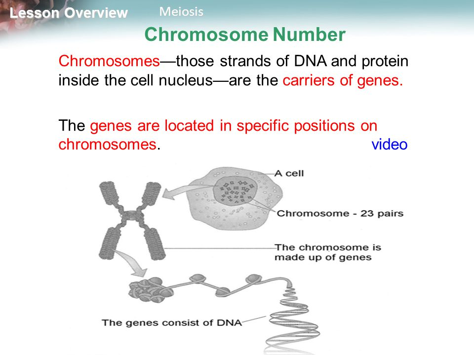 Chromosome Number Chromosomes—those strands of DNA and protein inside the cell nucleus—are the carriers of genes.