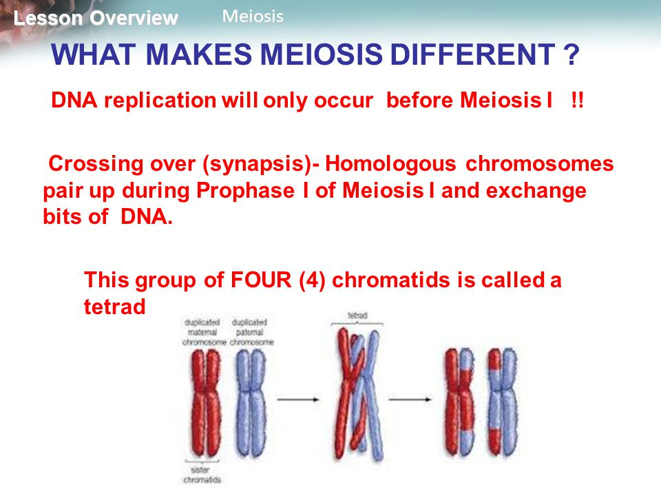 WHAT MAKES MEIOSIS DIFFERENT