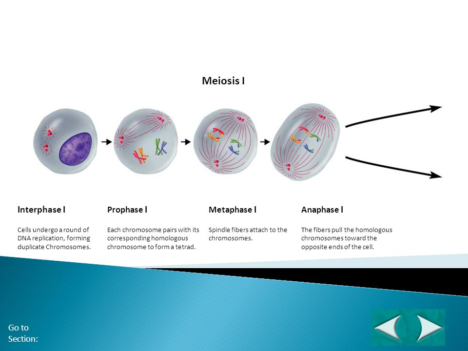 Figure 11-15 Meiosis Meiosis I Interphase I Section 11-4 Prophase I