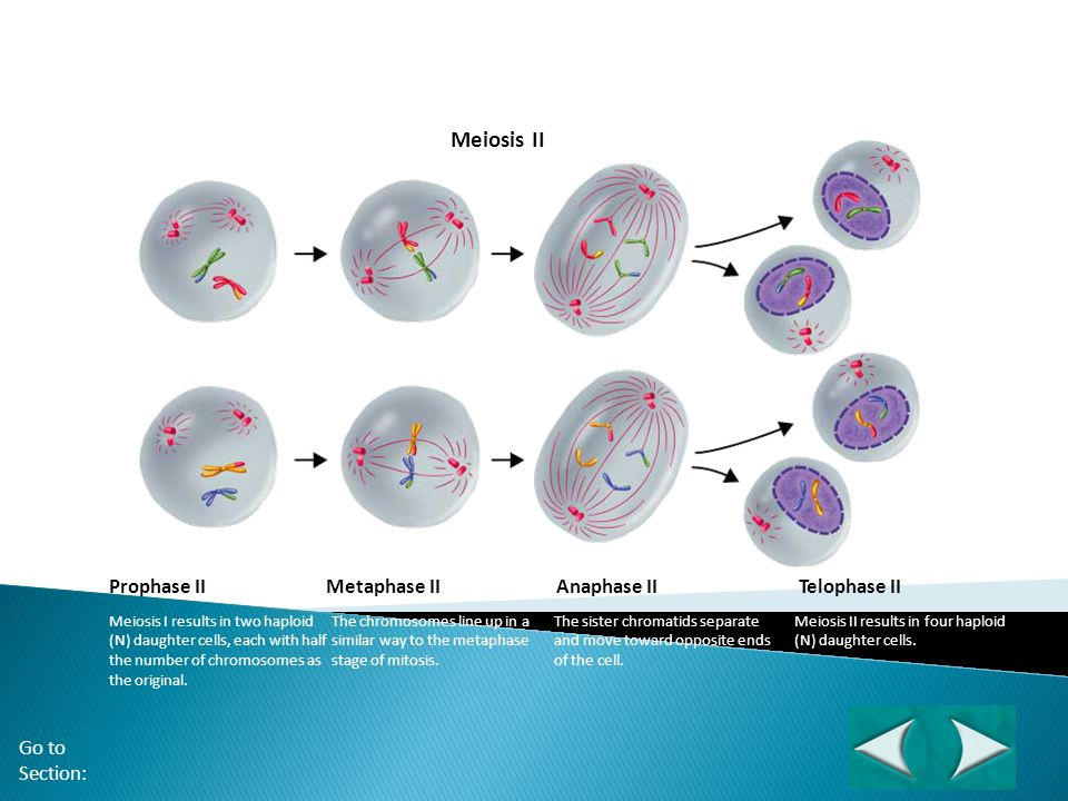 Figure 11-17 Meiosis II Meiosis II Section 11-4 Prophase II