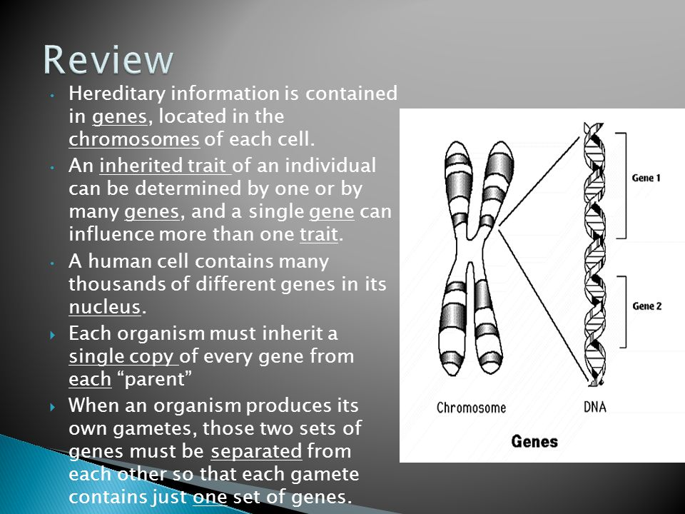 Review Hereditary information is contained in genes, located in the chromosomes of each cell.
