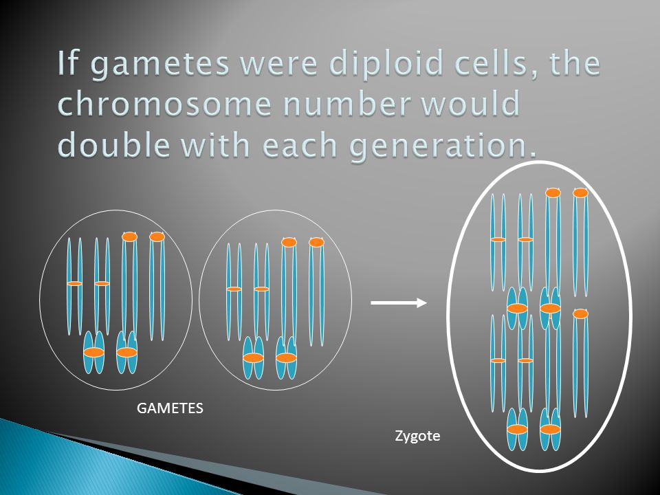 If gametes were diploid cells, the chromosome number would double with each generation.