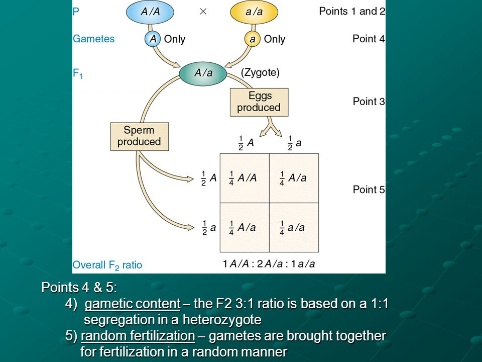 Points 4 & 5: 4) gametic content – the F2 3:1 ratio is based on a 1:1. segregation in a heterozygote.