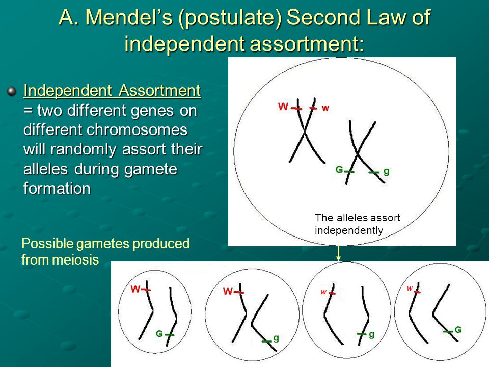 A. Mendel's (postulate) Second Law of independent assortment: