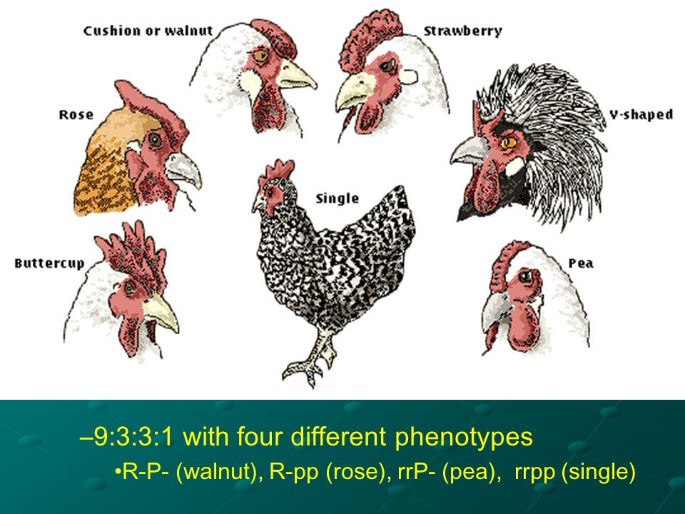 9:3:3:1 with four different phenotypes