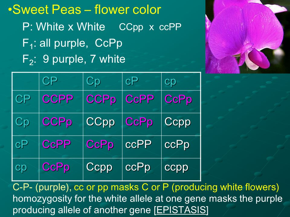 Sweet Peas – flower color