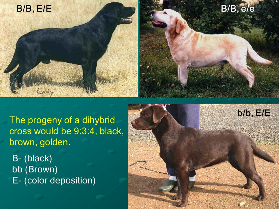 B/B, E/E B/B, e/e. b/b, E/E. The progeny of a dihybrid. cross would be 9:3:4, black, brown, golden.