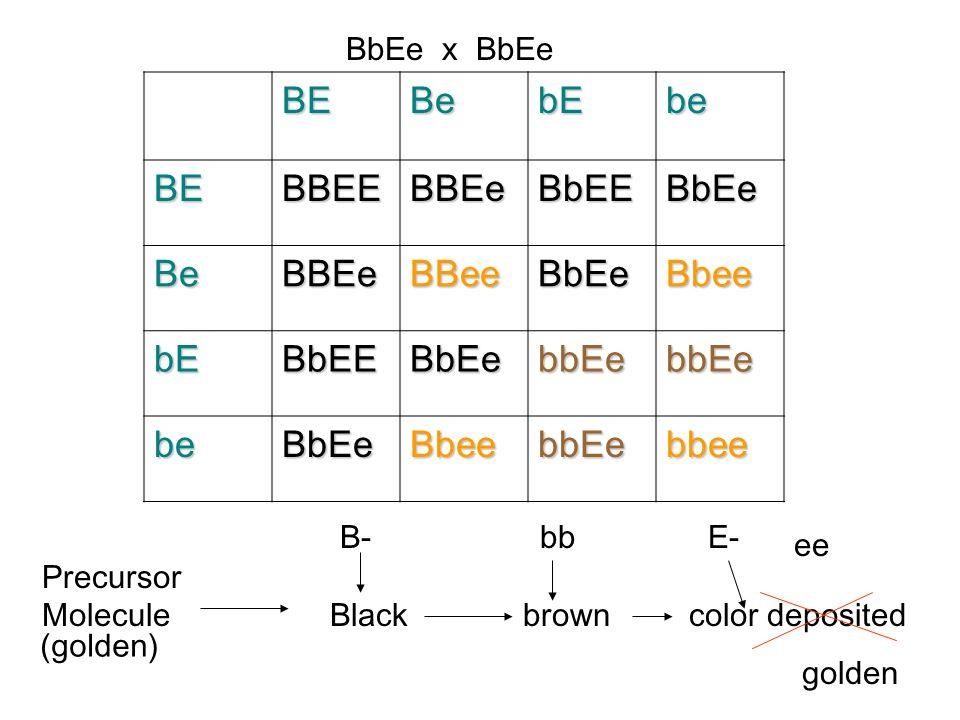 BE Be bE be BBEE BBEe BbEE BbEe BBee Bbee bbEe bbee BbEe x BbEe