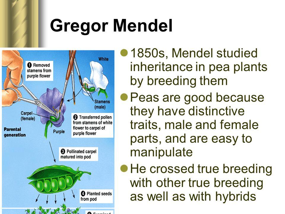 Gregor Mendel 1850s, Mendel studied inheritance in pea plants by breeding them.