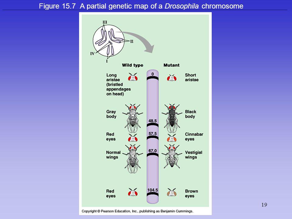 Figure 15.7 A partial genetic map of a Drosophila chromosome
