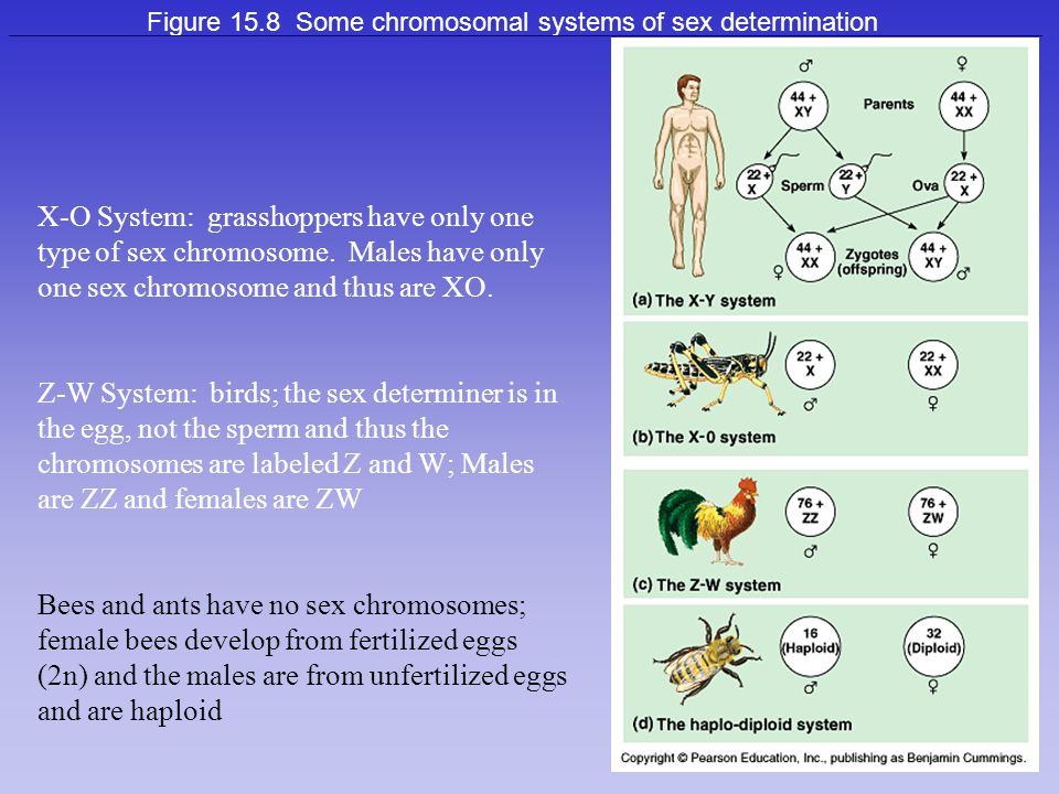 Figure 15.8 Some chromosomal systems of sex determination