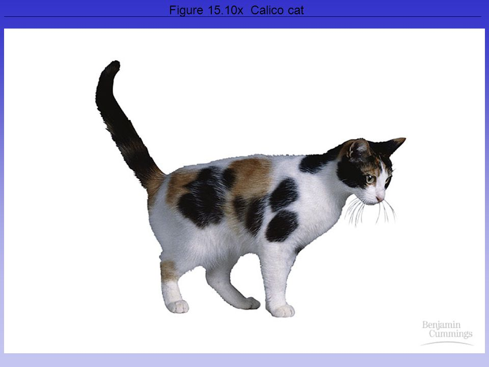 Figure 15.10x Calico cat