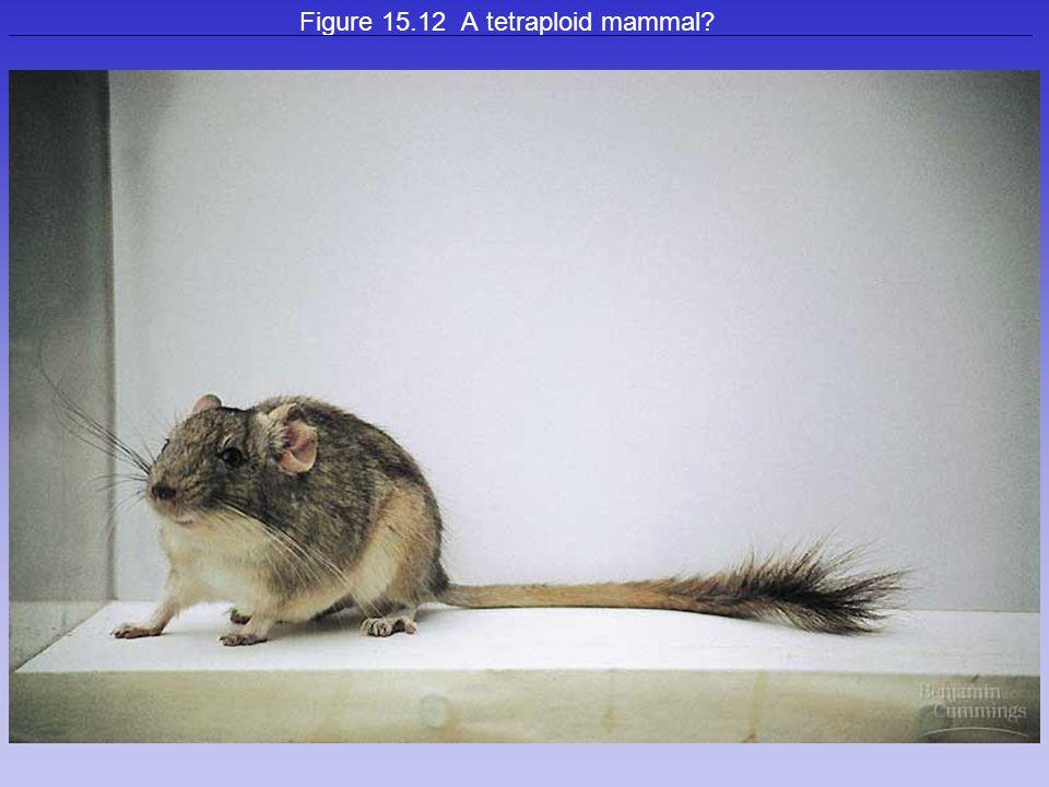 Figure 15.12 A tetraploid mammal