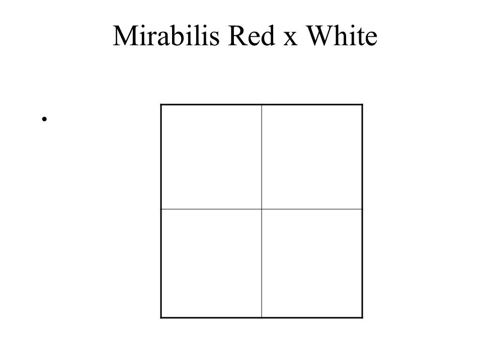Mirabilis Red x White