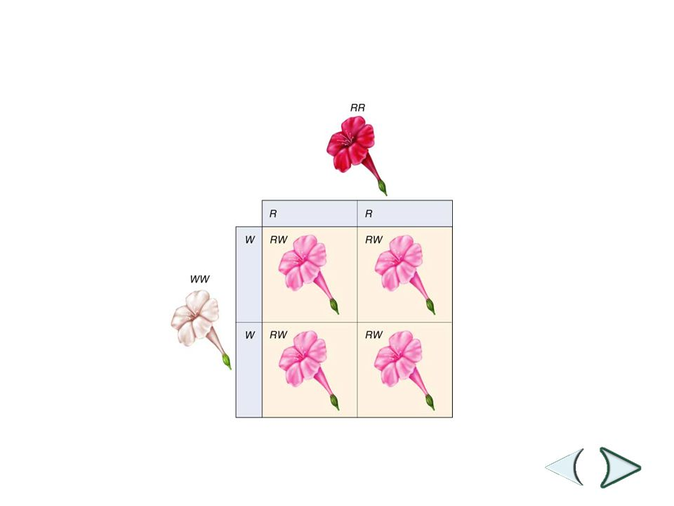 Figure 11-11 Incomplete Dominance in Four O'Clock Flowers