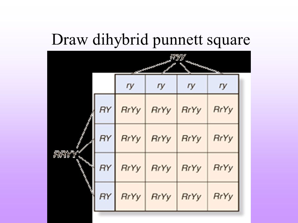 Draw dihybrid punnett square