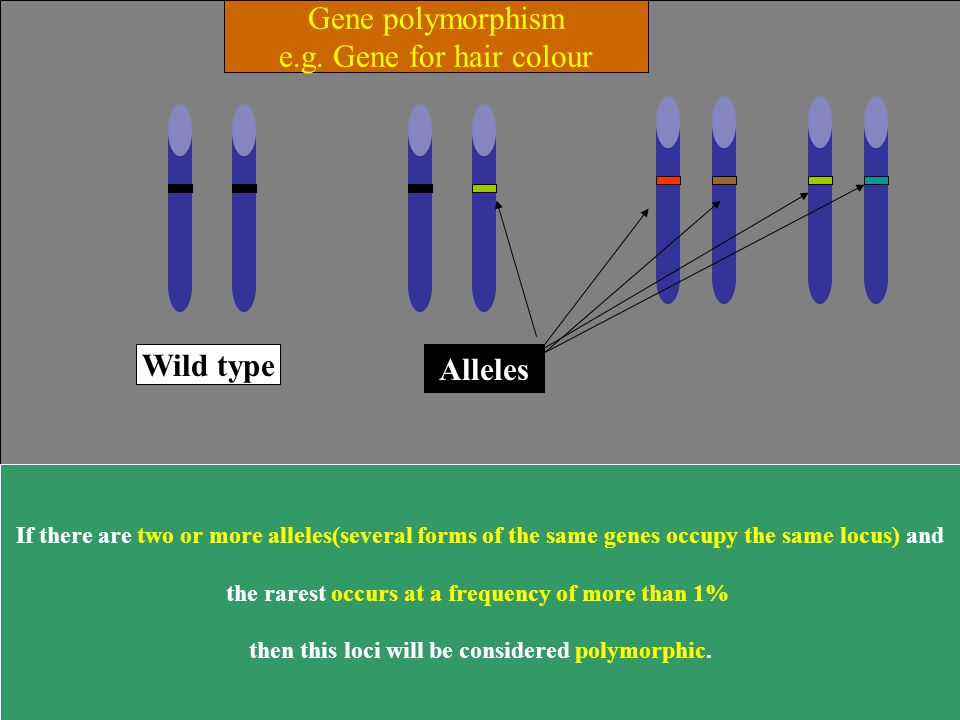 Gene polymorphism e.g. Gene for hair colour Wild type Alleles
