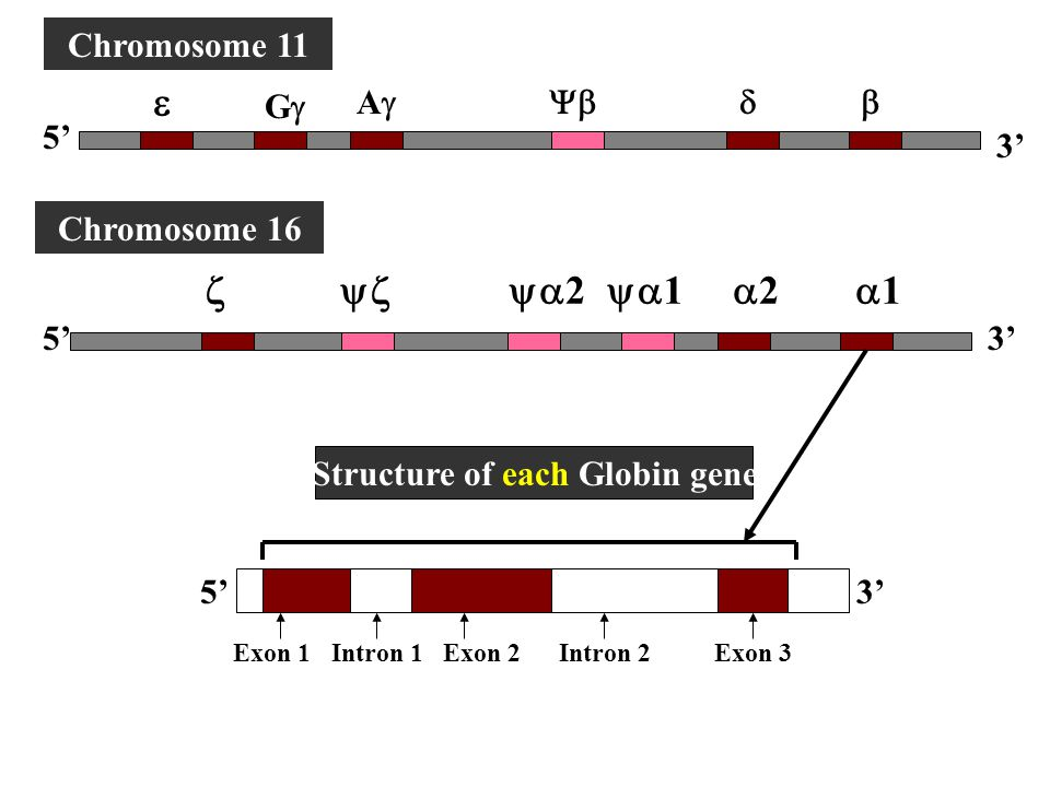 Structure of each Globin gene
