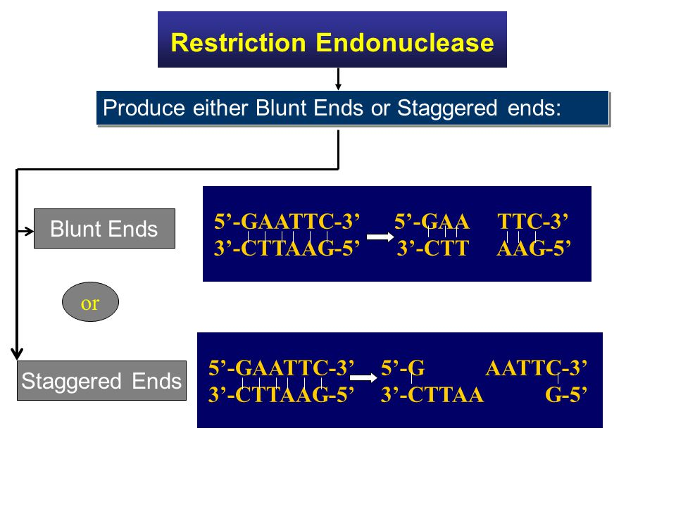 Restriction Endonuclease