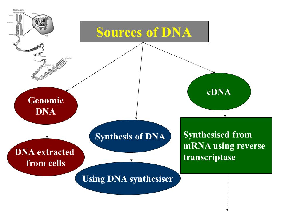 Sources of DNA cDNA Genomic DNA Synthesised from Synthesis of DNA