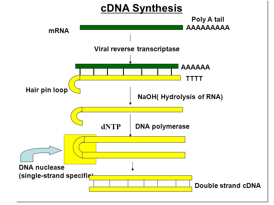 cDNA Synthesis dNTP Poly A tail AAAAAAAAA mRNA