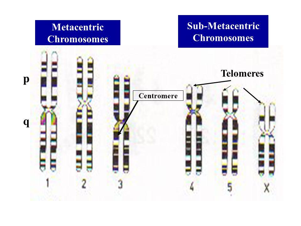 p q Sub-Metacentric Metacentric Chromosomes Chromosomes Telomeres