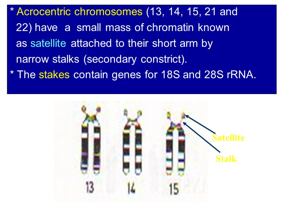 * Acrocentric chromosomes (13, 14, 15, 21 and