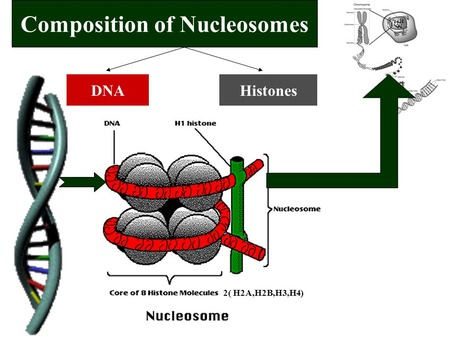 Composition of Nucleosomes