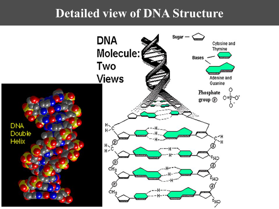 Detailed view of DNA Structure