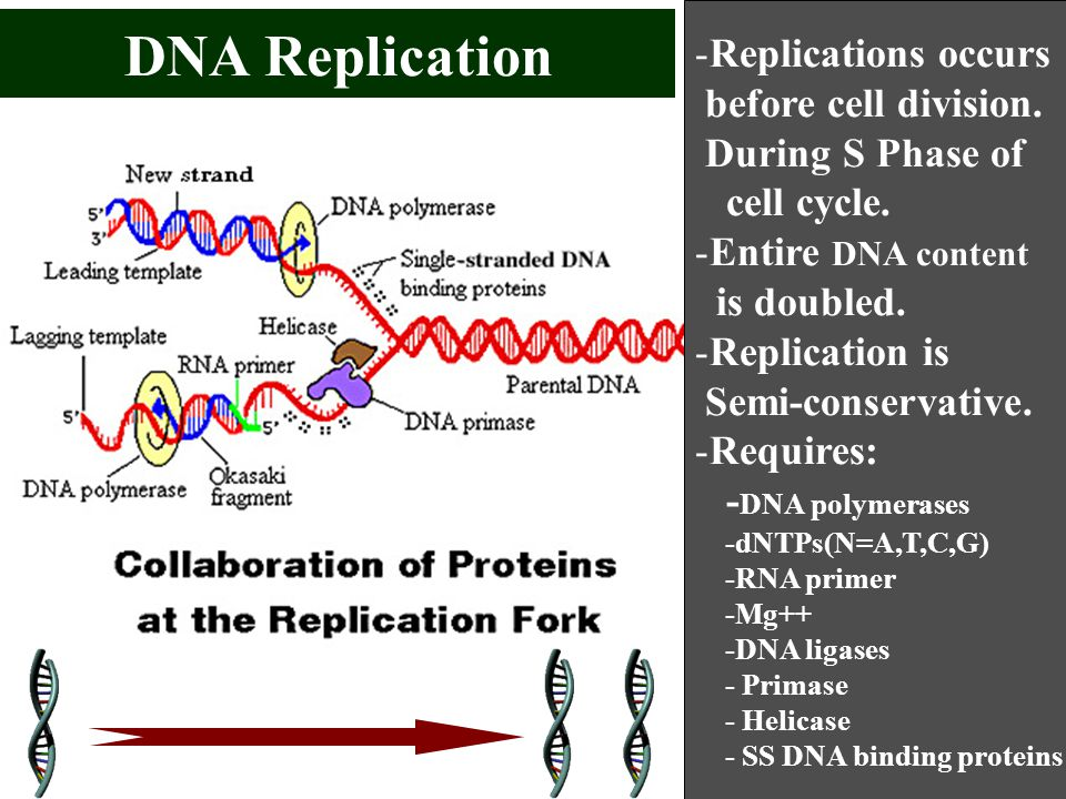 DNA Replication Replications occurs before cell division.
