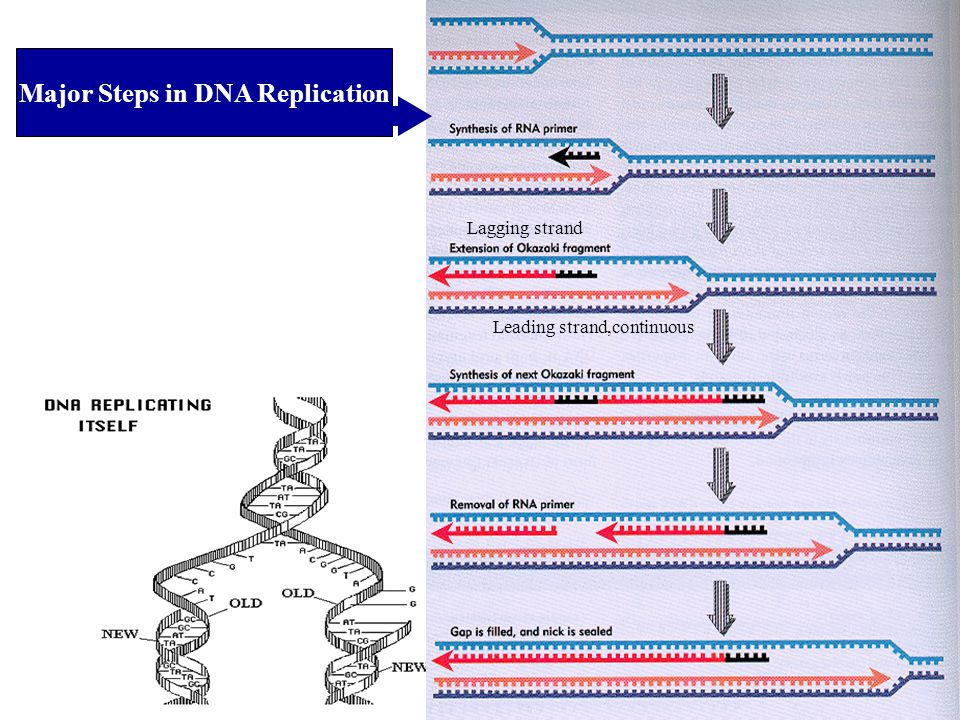 Major Steps in DNA Replication
