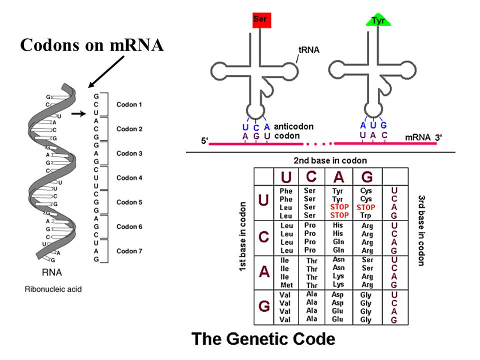 Codons on mRNA
