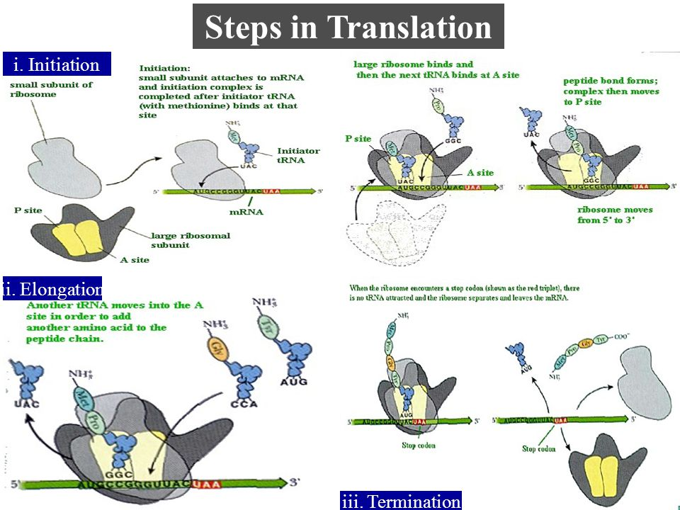 Steps in Translation i. Initiation ii. Elongation iii. Termination