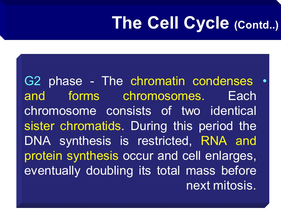 The Cell Cycle (Contd..)