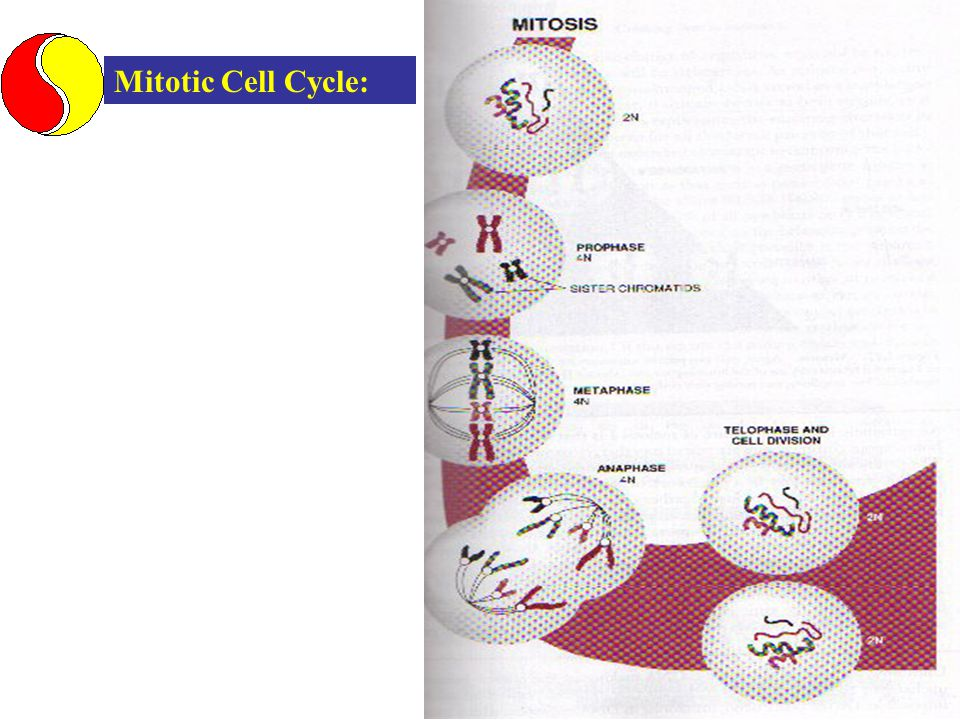 Mitotic Cell Cycle: