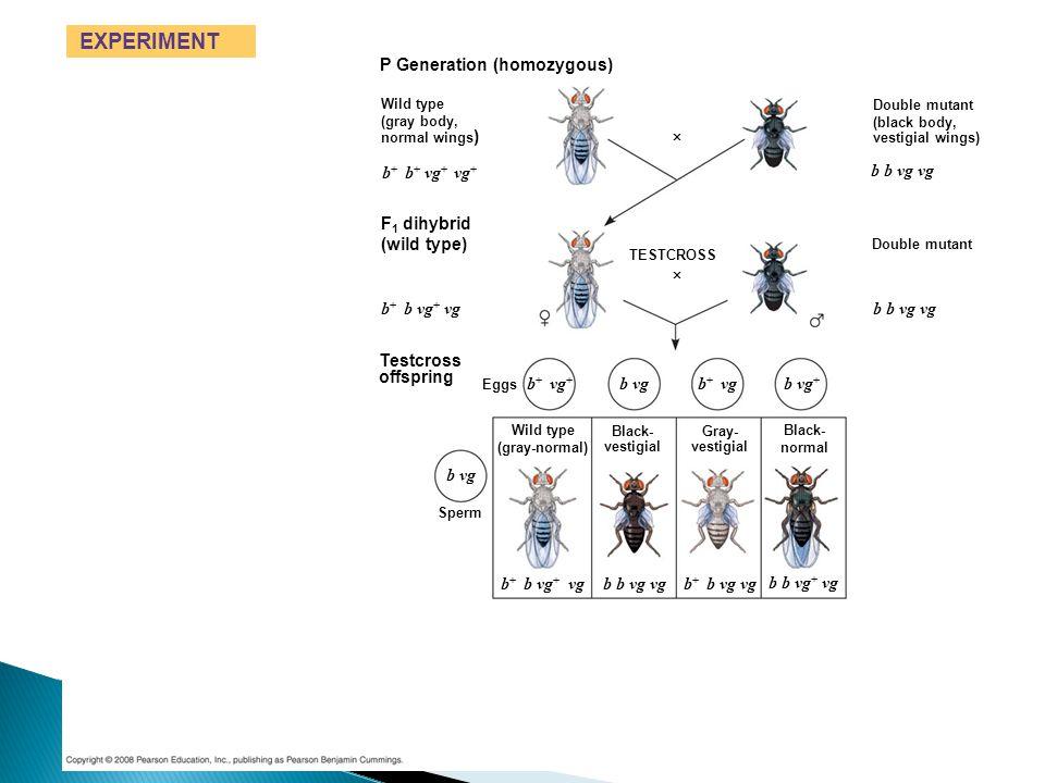 EXPERIMENT P Generation (homozygous) b+ b+ vg+ vg+ b b vg vg