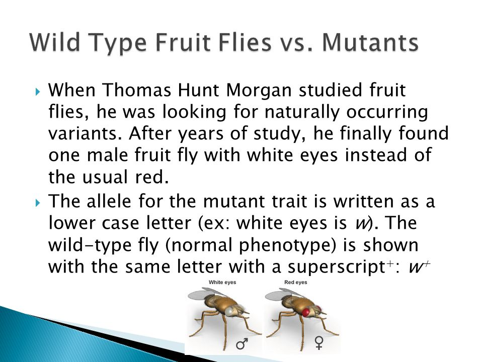 Wild Type Fruit Flies vs. Mutants