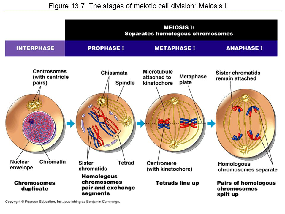 Figure 13.7 The stages of meiotic cell division: Meiosis I