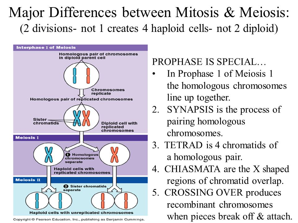Major Differences between Mitosis & Meiosis: (2 divisions- not 1 creates 4 haploid cells- not 2 diploid)