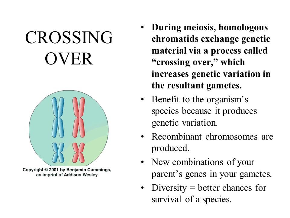 During meiosis, homologous chromatids exchange genetic material via a process called crossing over, which increases genetic variation in the resultant gametes.