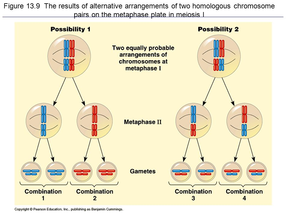 Figure 13.9 The results of alternative arrangements of two homologous chromosome pairs on the metaphase plate in meiosis I