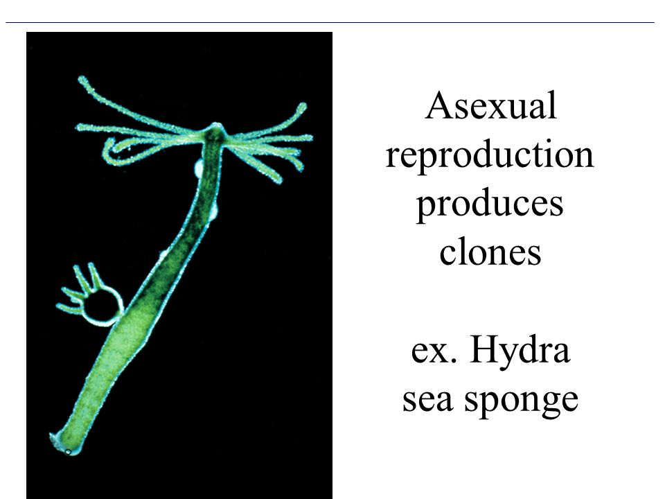 Asexual reproduction produces clones ex. Hydra sea sponge