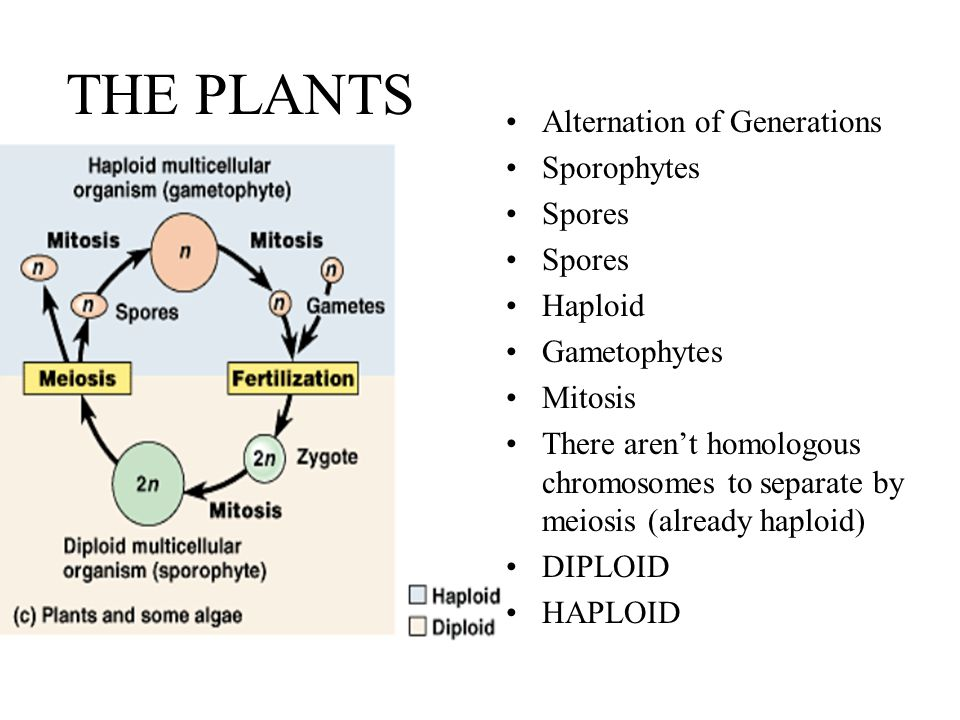 THE PLANTS Alternation of Generations Sporophytes Spores Haploid