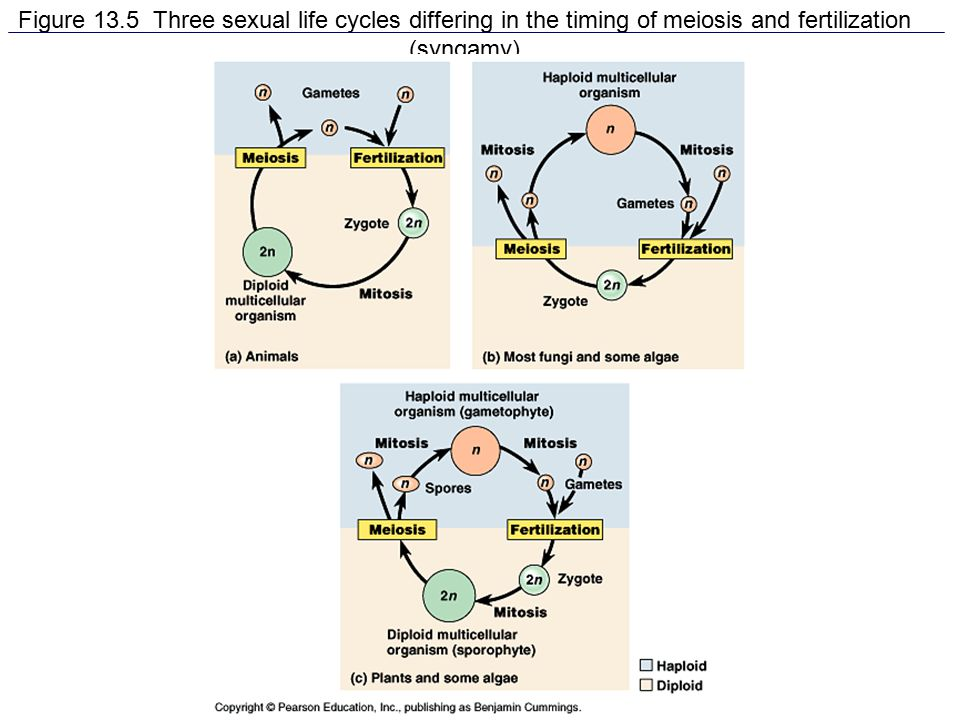 Figure 13.5 Three sexual life cycles differing in the timing of meiosis and fertilization (syngamy)