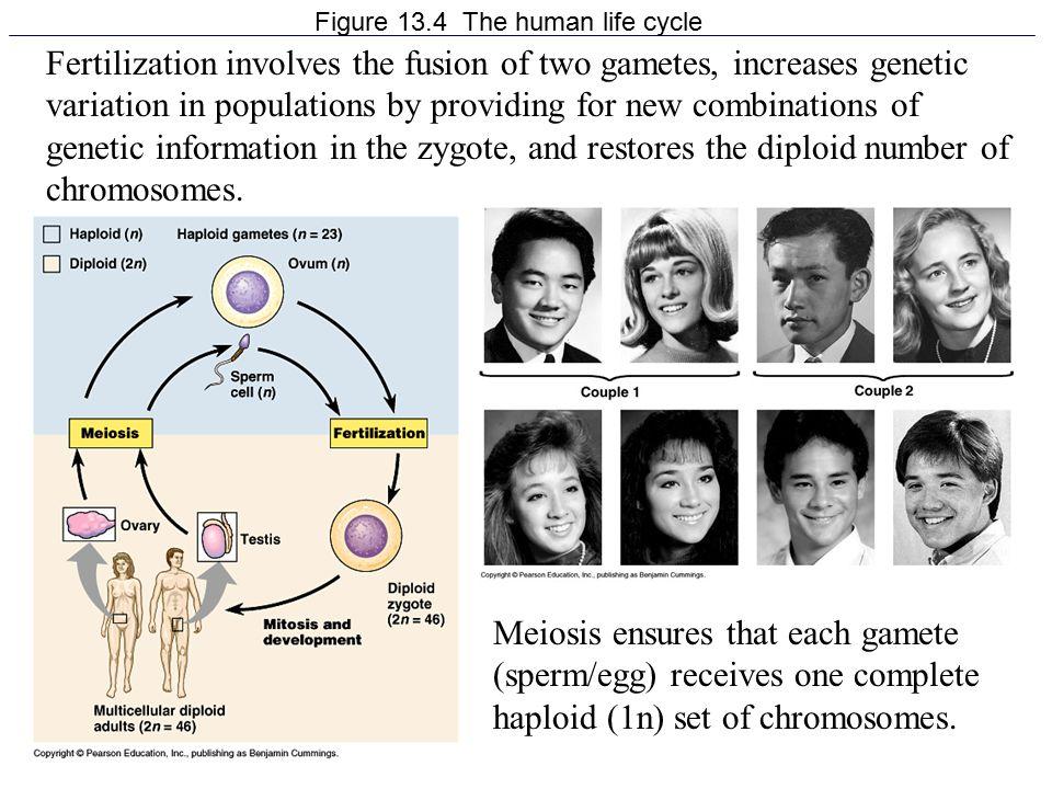 Figure 13.4 The human life cycle