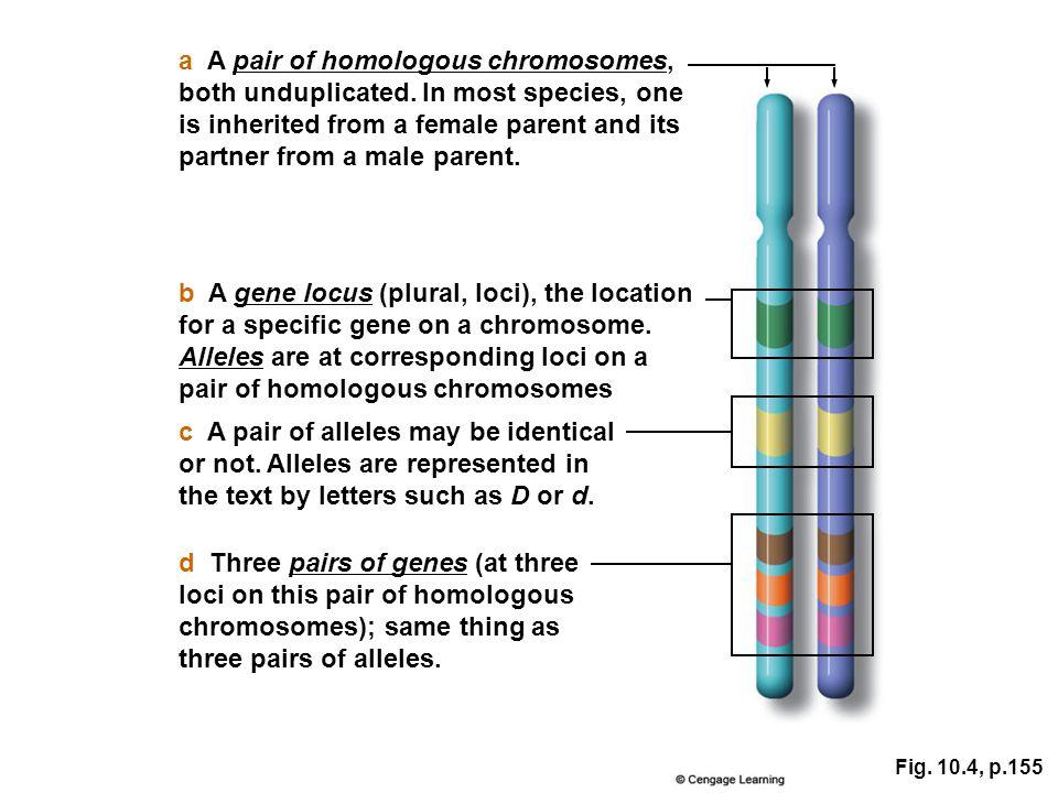 a A pair of homologous chromosomes,