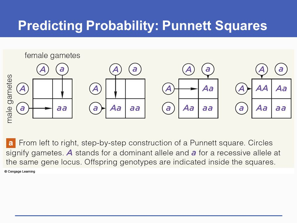 Predicting Probability: Punnett Squares