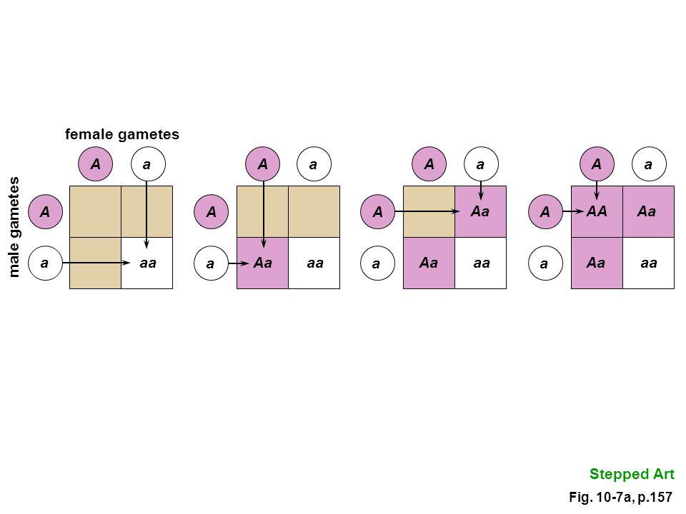 a A aa female gametes male gametes a A aa Aa a A aa Aa a A aa Aa AA